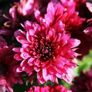 Chrysanthemum_morifolium  گیاهان آپارتمانی و فضای باز زیبا و خطرناک              300x300
