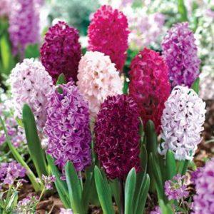 Hyacinthus_orientalis  گیاهان آپارتمانی و فضای باز زیبا و خطرناک          300x300