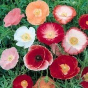 Papaver_rhoeas  گیاهان آپارتمانی و فضای باز زیبا و خطرناک            300x300