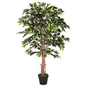 Ficus  گیاهان آپارتمانی و فضای باز زیبا و خطرناک            300x300