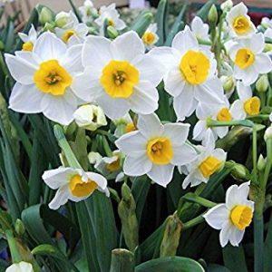 Narcissus  گیاهان آپارتمانی و فضای باز زیبا و خطرناک          300x300