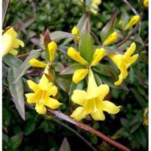 Gelsemium_sempervirens  گیاهان آپارتمانی و فضای باز زیبا و خطرناک        300x300