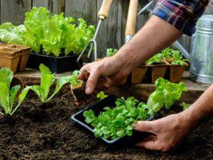 آموزش کاشت سبزی خوردن در گلدان 1128412 300x225