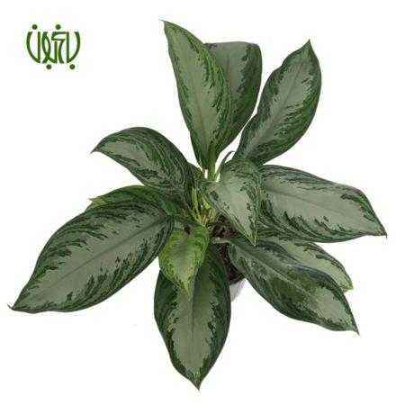 آگلونما فرانسوي  آگلونما فرانسوی -Aglaonema Plant Aglaonema Jubilee Compacta 4 450x450