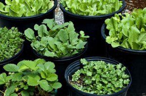 آموزش کاشت سبزی خوردن در گلدان planting vegetable 300x197