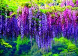 آموزش کاشت سبزی خوردن در گلدان wisteria poisonous plants 260x185 گل و گیاه خانگی گل و گیاه خانگی wisteria poisonous plants 260x185