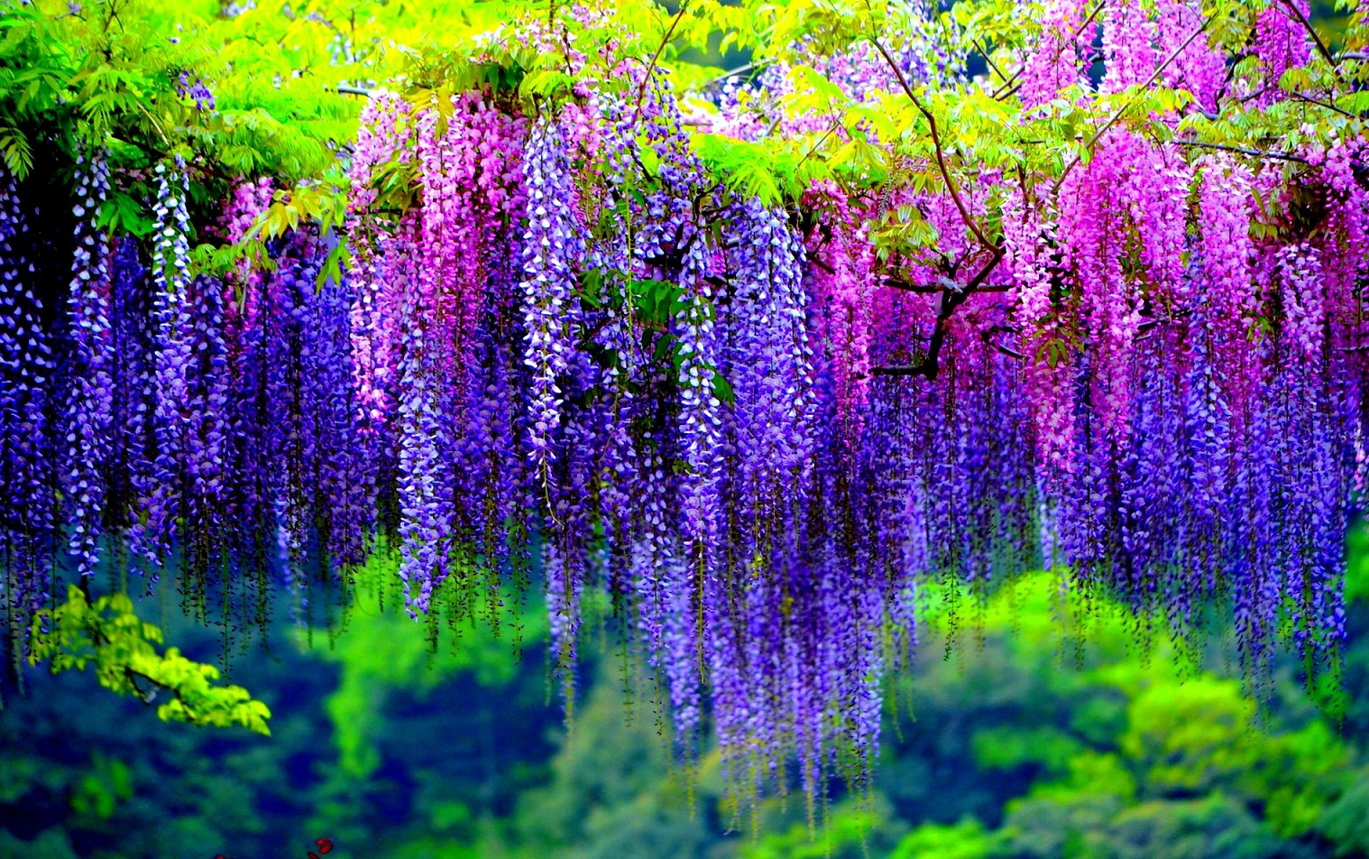 گیاهان آپارتمانی و فضای باز زیبا و خطرناک wisteria poisonous plants  وبلاگ wisteria poisonous plants