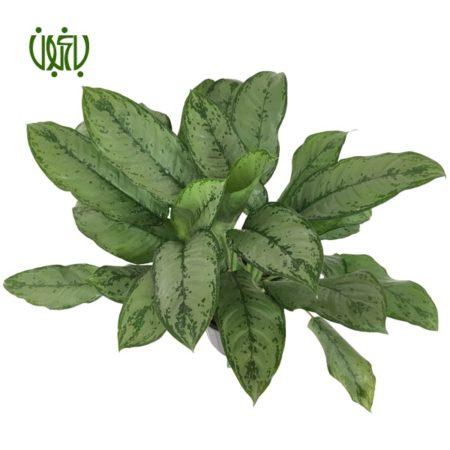آگلونما كاهويي (حبابي)  آگلونما حبابی (كاهويي)-Aglaonema Plant Aglaonema Pseudobracteatum 4 450x450