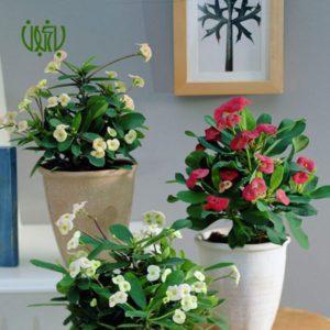 مرجان گلخانه گلخانه Plant Crown Of Thorns 01 300x300 گلخانه گلخانه Plant Crown Of Thorns 01 300x300