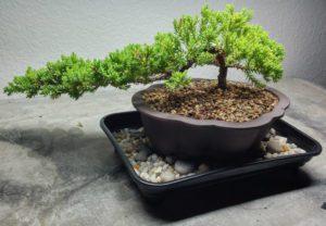 راه های تامین رطوبت مورد نیاز گیاهان آپارتمانی bonsai tree humidity drip tray 300x208