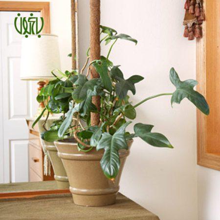 فیلودندرون گوش گرگی گل و گیاه خانگی گل و گیاه خانگی Plant Climbing Phiiodendron 02 450x450 گل و گیاه خانگی گل و گیاه خانگی Plant Climbing Phiiodendron 02 450x450