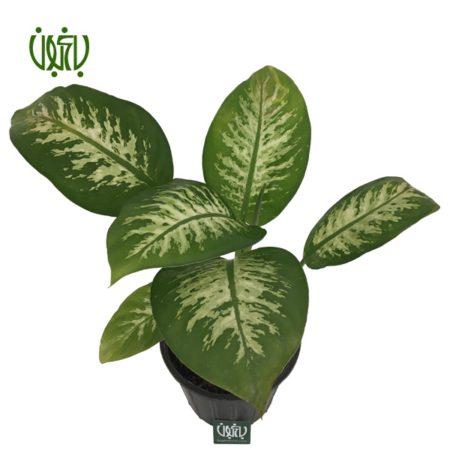 دیفن باخیا  دیفن باخیا-DUMB CANE Plant Dieffenbachia 3 450x450