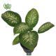 دیفن باخیا  کاج مطبق-NORFOLK ISLAND PINE Plant Dieffenbachia 3 80x80