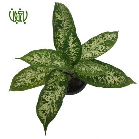 دیفن یاخیا  دیفن باخیا ابلق-DUMB CANE Plant Dieffenbachia Maculata 4 450x450