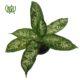دیفن یاخیا  آگلونما صورتی -Aglaonema Plant Dieffenbachia Maculata 4 80x80