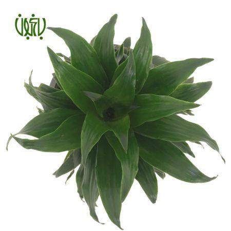 دراسنا کامپکت  دراسنا کامپکتا – Dracaena compacta Plant Dracaena Compacta 04 450x450