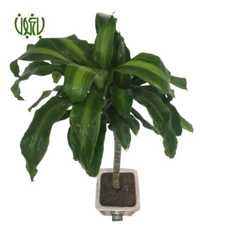 دراسنا بلالی  دراسنا بلالی با گلدان سفالی Plant Dracaena Fragrans 05 450x450