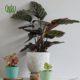 مارانتا  مارانتا یا کالاتیا گورخری-ZEBRA PLANT Plant Prayer 01 80x80