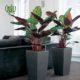 مارانتا  مارانتا _PRAYER PLANT Plant Prayer 04 80x80