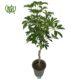 شفلرا بافت  گل شرابی-sweetshrub Plant Schefflera Pich 03 80x80