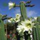 تریکوسرئوس  سانسوریا پا کوتاه-Sansevieria Trifasciata hahnii Plant Trichocereus Pachanoi 04 80x80