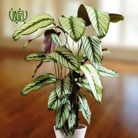 مارانتا گورخری گل و گیاه خانگی گل و گیاه خانگی Plant Zebra 02 450x450 گل و گیاه خانگی گل و گیاه خانگی Plant Zebra 02 450x450