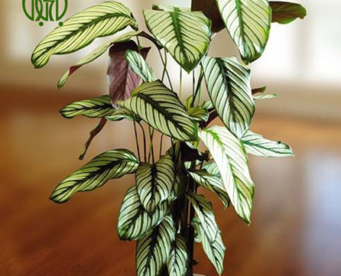 مارانتا گورخری گیاهان آپارتمانی گیاهان آپارتمانی Plant Zebra 02 495x400 گیاهان آپارتمانی گیاهان آپارتمانی Plant Zebra 02 495x400