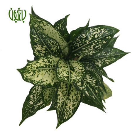 آگلونما سفید  آگلونما سفید -Aglaonema plant chinese evergreen white 9 450x450