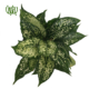 آگلونما سفید  پوتوس سفید (ملکه مرمری)-s.aureus Marble Queen plant chinese evergreen white 9 80x80