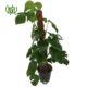 برگ انجیری  گندمی-Spider plant plant swiss cheese plant 7 80x80