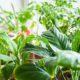 آموزش تعویض گلدان سانسوریا پا کوتاه pthomeandgarden 5 Tips for Taking Care of Indoor Houseplants 700x300 80x80