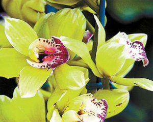معرفی گرانترین گل ها 3 300x240