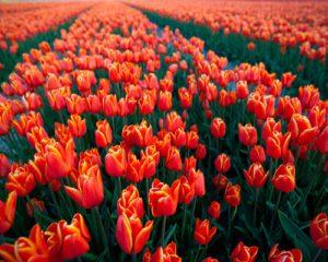 معرفی گرانترین گل ها 6 300x240