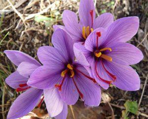 معرفی گرانترین گل ها 7 300x240