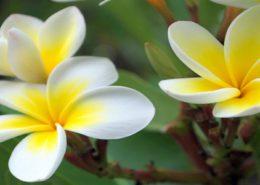آموزش تعویض گلدان سانسوریا پا کوتاه frangipani 260x185 گل و گیاه خانگی گل و گیاه خانگی frangipani 260x185