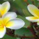 گیاهان دارویی که میتوان در منزل پرورش داد frangipani 80x80