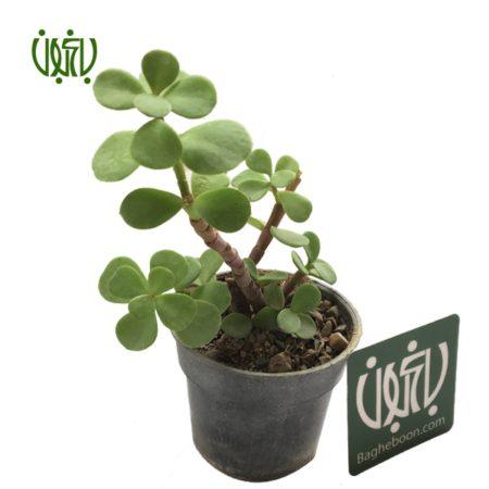 کراسولا خرفه ای  کراسولا خرفه ای-Crassula portulaca jade plant 10 450x450
