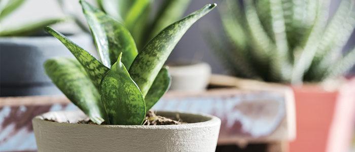 آموزش تعویض گلدان سانسوریا پا کوتاه pthomeandgarden Snake Plant 700x300  وبلاگ pthomeandgarden Snake Plant 700x300