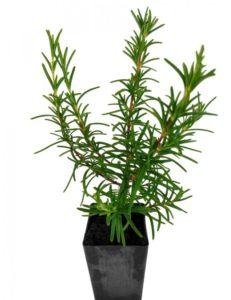 گیاهان دارویی که میتوان در منزل پرورش داد              231x300