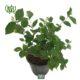 گل رازقی  پیچ امین الدوله (ياس امين الدوله)-Honeysuckle Arabian Jasmine Plant 3 80x80