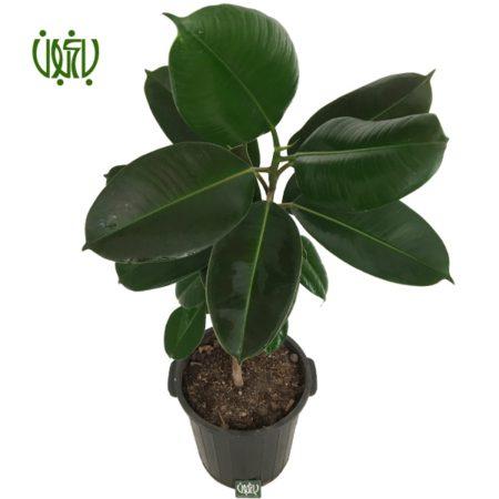 فیکوس  فیکوس الاستیکا – Ficus Elastica Ficus Elastica Plant 3 450x450