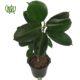 فیکوس  گندمی-Spider plant Ficus Elastica Plant 3 80x80
