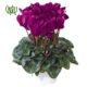 گیاه سیکلامن  سیکلامن پرسیکوم-persicum Cyclamen Plant Persicum Cyclamen 02 80x80