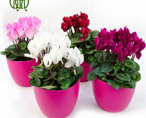 گیاه سیکلامن کروتون کروتون رنگین (کروتون پرتقالی) – Garden Croton Plant Persicum Cyclamen 03 495x400