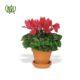 گیاه سیکلامن  سیکلامن پرسیکوم-persicum Cyclamen Plant Persicum Cyclamen 04 80x80