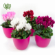 گیاه سیکلامن  تاکسوس (سرخدار)-TAXUS Plant Persicum Cyclamen 3 80x80