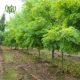 اقاقیا  گل حنا – BUSY LIZZIE Plant Robinia 01 80x80