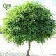 اقاقیا  پدیلانتوس-Zigzag plant Plant Robinia 3 80x80