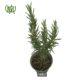 رزماری  زرشک زینتی-Barberry Rosemary plant 3 80x80