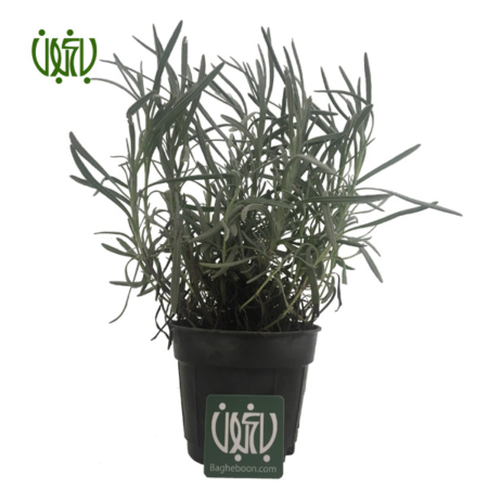 اسطوخودوس  اسطوخودوس-OFFICIAL LAVENDER Official lavender plant 1 450x450